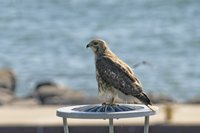 Red-tail Hawk surveying Tannery Point