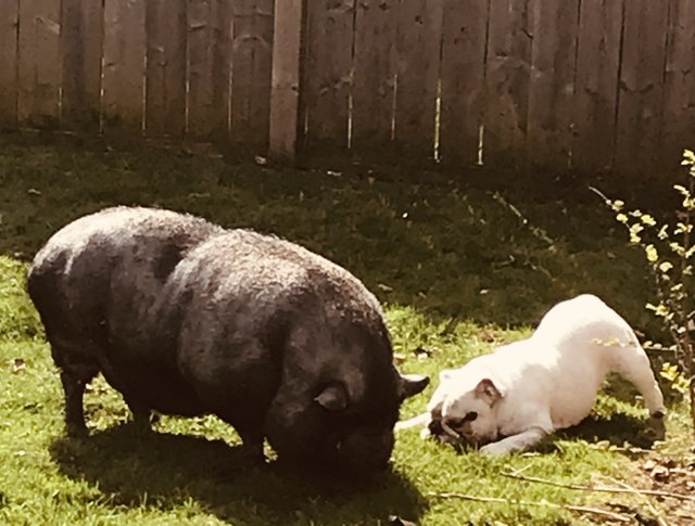Charlie, the pig, and Prada, the dog, live in Glen Abbey