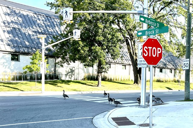 Stop Sign Community Centre Canada Geese.jpg
