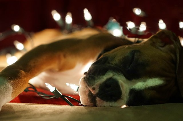 December 8 Puppy with Christmas Lights
