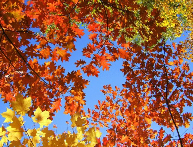 Oakville: October 13 to 15, 2017 looking at a blue sky through coloured leaves