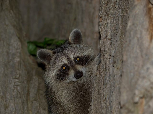 Oakville: Tuesday, July 11/17 Racoon, Local Events, Upcoming Events, Weather Forecast, Events Calendar