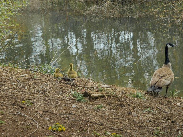 Oakville Events, Canadian Goose and Goslings