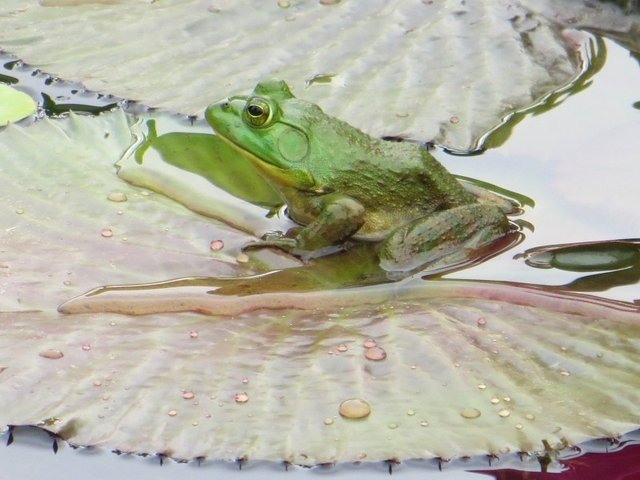 frog-pond-water-green