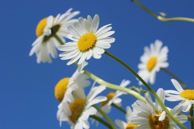 daisies-flower-spring-plant-nature-sky-summer
