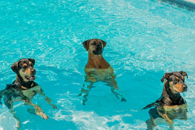 3 Dogs in a Pool