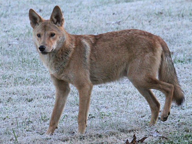 coyote on frosted grass