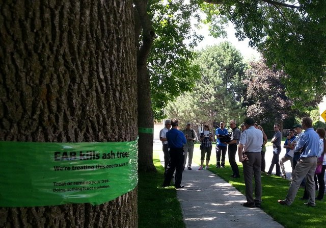 People inspecting trees treated for EAB