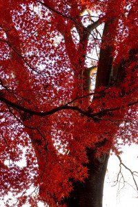 Maple Tree in full fall colour