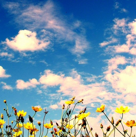 Blue Sky over a field of flowers