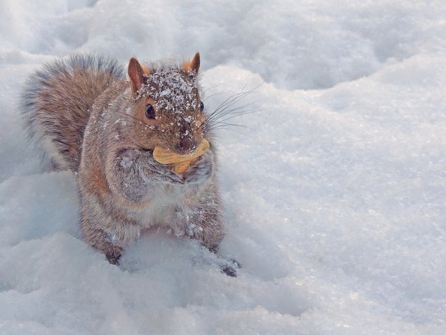 Squirrel with peanut in snow