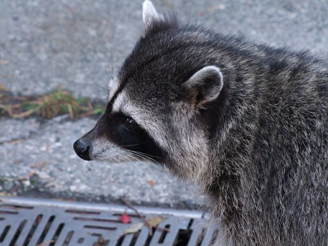 Canine Distemper, Racoons, Oakville, Ontario