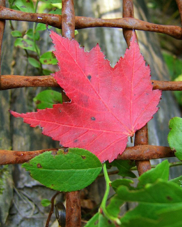 A red Maple Leaf on a Fence
