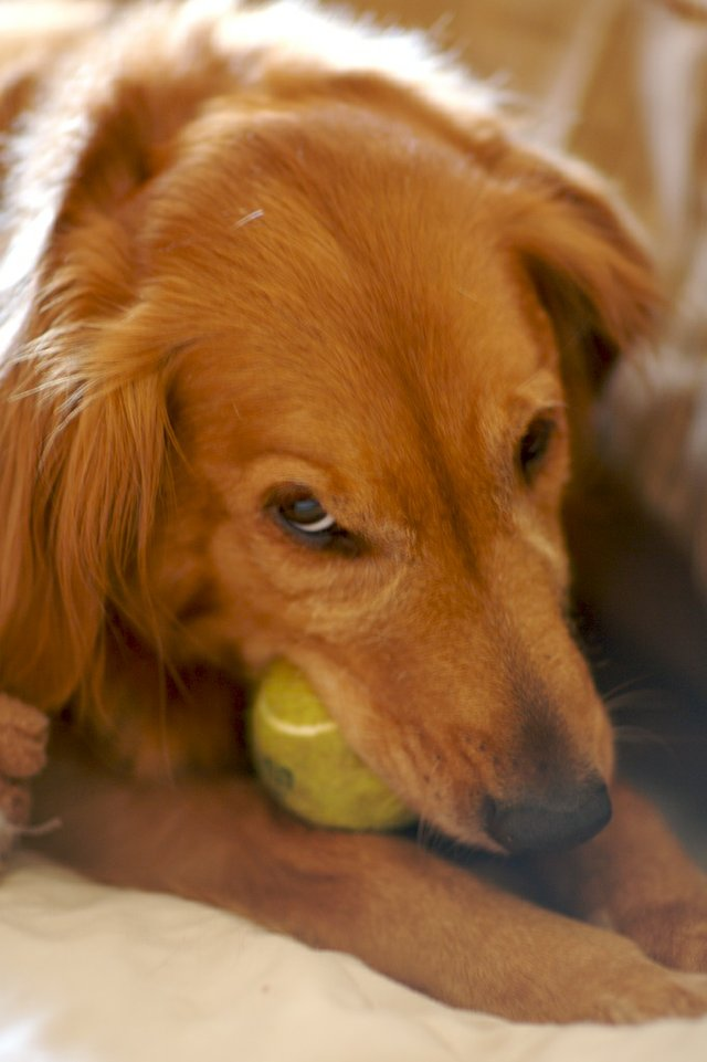 Golden Retriever with a Tennis Ball