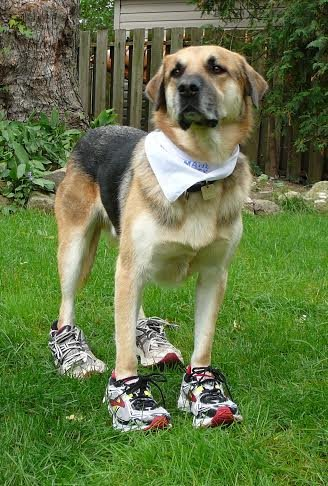 A dog wearing running shoes