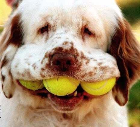 a dog holding 3 tennis balls in his mouth