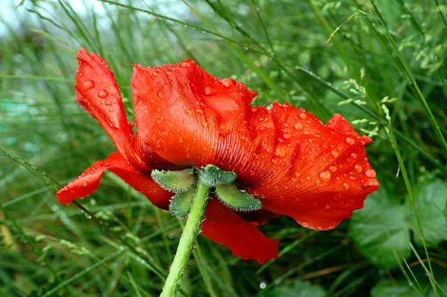 Poppy after downpour