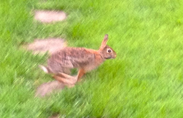 Bunny hopping over grass