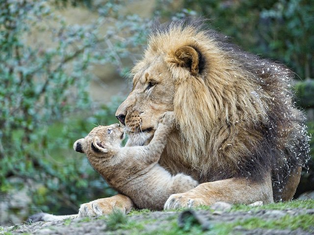 Lion Cub playing with a male lion