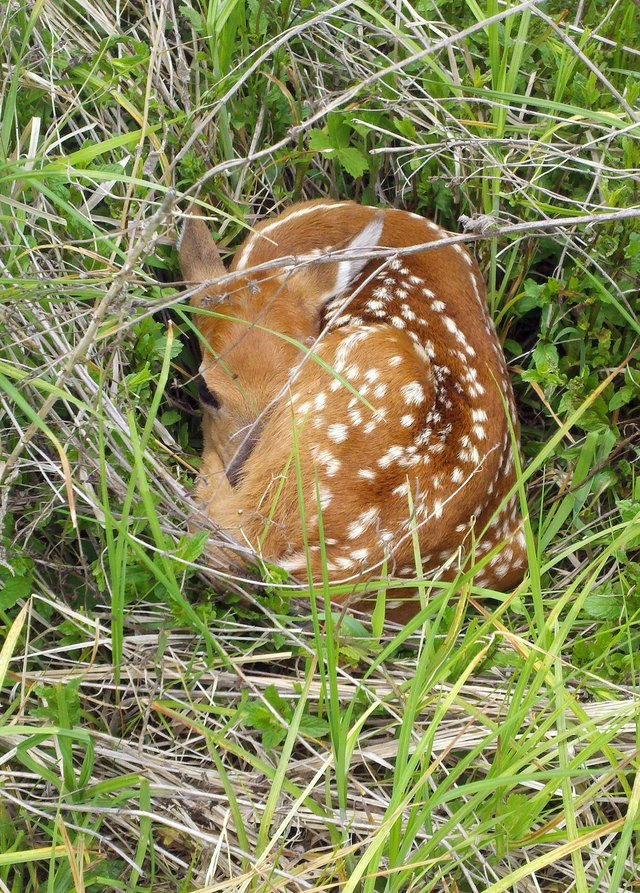 Fawn having a nap in the grass
