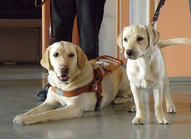 Guide Dog with Puppy in training - golden labs
