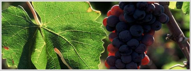 Xinomavro grapesPhoto credit: Kir-Yianni wines