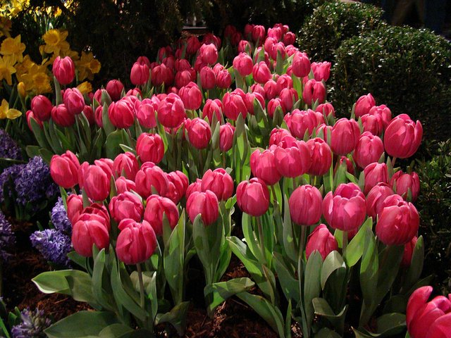 Bed of pink tulips