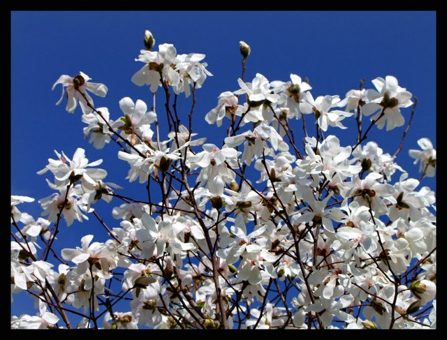 Star Magnolia in Bloom with a bright blue sky at the background