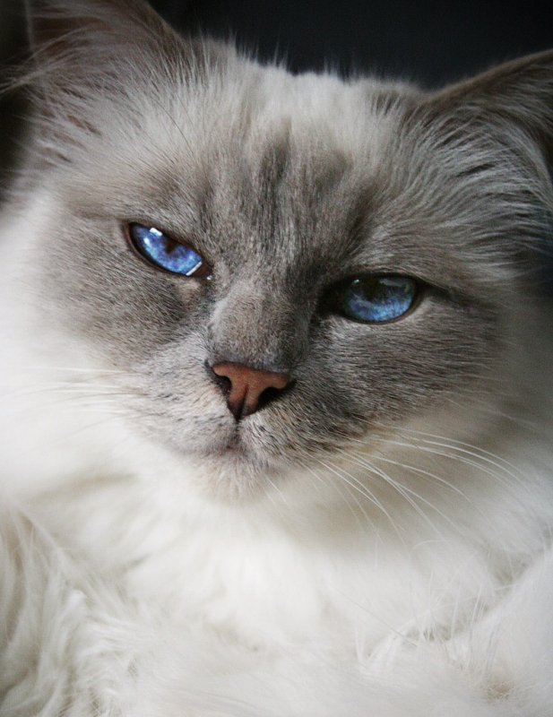Head of grey long haired cat with bright blue eyes waiting for Spring to Arrive