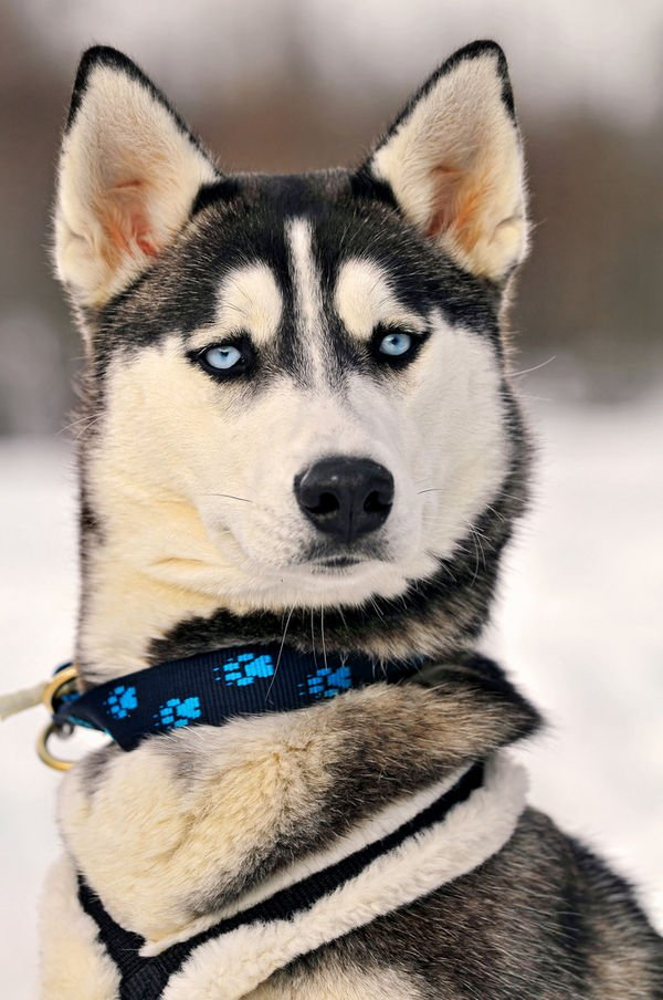 portrait-of-a-serious-but-beautiful-husky_l