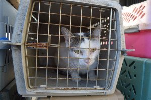One of the neglected cats from Halton Hills Rescue Photo credit: Oakville Milton Humane Society